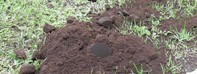 Use coffee grounds to fertilise a lawn