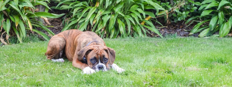 Pet urine is damaging for your lawn