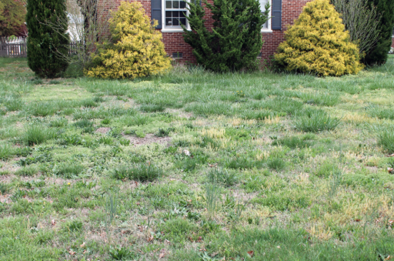 Most Common Lawn Weeds Tips And Advice Turf