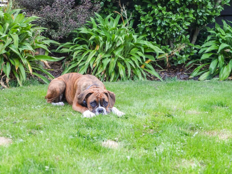 10 Ways To Stop Dog Pee Killing Grass | Turf Technologies » Turf